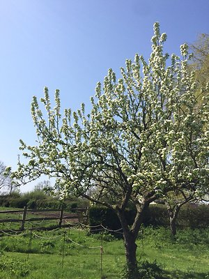 Home. Pear tree april 18